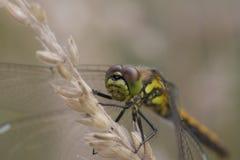Dragonfly face portrait stock photos