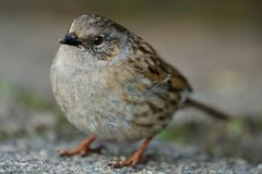 Dunnock prunella modularis. Close up portrait of a dunnock in the wild Stock Images