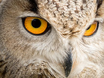 Close up portrait of an eagle owl Bubo bubo with yellow eyes stock photo