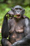 The close up portrait of eating adult  female Bonobo (Pan Paniscus) on green natural background. Stock Image