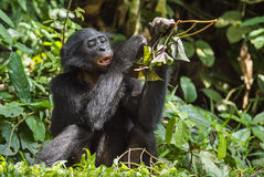 The close up portrait of eating juvenile Bonobo in natural habitat. Green natural background. Stock Photos