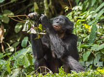 The close up portrait of eating juvenile Bonobo in natural habitat. Green natural background. Stock Image