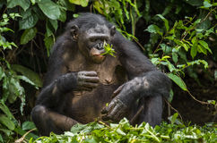 The close up portrait of eating old female Bonobo in natural habitat Royalty Free Stock Photo