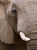Close up portrait of an elephant Royalty Free Stock Photo
