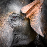 Close-up portrait of an elephant Stock Photo