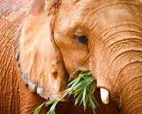 Close up portrait of elephant Royalty Free Stock Photos