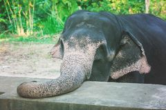 Close-up portrait of Elephant with. Large trunk on the farm in Sri Lanka stock photo