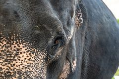 Asian elephants in the zoo stock images