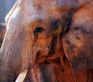 Close-up portrait of an elephant. At the zoo stock image