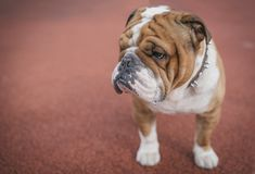 Portrait of English bulldog. Close up portrait of English bulldog,selective focus and blank space Royalty Free Stock Photography