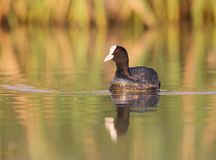 Close up portrait eurasian coot in soft morning light. With water reflection Stock Images