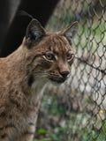 Close-up portrait of an Eurasian Lynx. (Lynx lynx Stock Photo