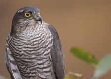Eurasian Sparrowhawk portrait Stock Photography