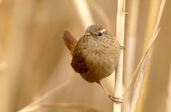 Close up portrait of eurasian wren on slim reed  on blurred background Royalty Free Stock Image