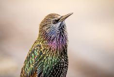 Beautiful, colorful, vibrant close-up of a European Starling with iridescent feathers. Close-up portrait of a European Starling displaying it`s brilliant colors stock images