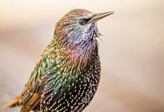 Beautiful, colorful, vibrant close-up of a European Starling with iridescent feathers. Close-up portrait of a European Starling displaying it`s brilliant colors royalty free stock photo