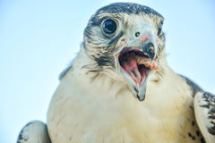 Close up portrait of a falcon with meet on the pecker. Close up portrait of a falcon with pieces of meet on the pecker stock photography
