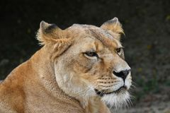Close up portrait of female African lioness. Close up side profile portrait of beautiful mature female African lioness looking away over dark background, low stock photography