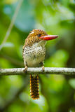 Close up portrait of Female Banded Kingfisher Royalty Free Stock Image