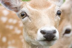 Close up portrait of female deer Stock Photo