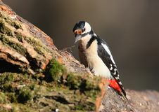 Close up portrait of female great spotted woodpecker Stock Images