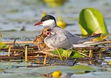 Close up portrait of female of whiskered tern with chick. Under wings Royalty Free Stock Image