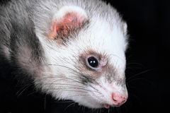 Close-up portrait of ferret Stock Photos