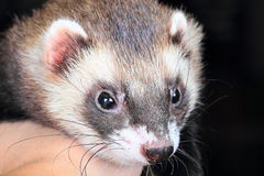 Close-up portrait of ferret Royalty Free Stock Images