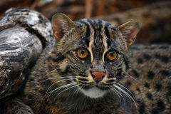 Close up portrait of fishing cat Stock Photography
