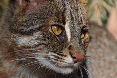 Close up portrait of fishing cat Stock Image