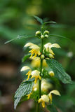 Close-up portrait of a flowering dead nettle Stock Image