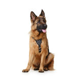 Close up Portrait of Fluffy German Shepherd Dog Sitting on a white background. Two Years Old Pet. Royalty Free Stock Photo