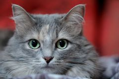 Close up portrait of a fluffy grey cat with green eyes. Against red blurry background stock images