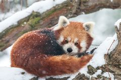 Close-up portrait of fluffy red panda in winter royalty free stock images