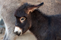 Foal, baby donkey Royalty Free Stock Photography