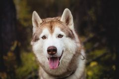 Close-up Portrait of free Beige and white dog breed Siberian Husky sitting in fall season on a bright forest background. Close-up Portrait of free and beautiful Stock Image