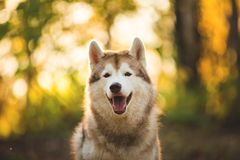 Close-up Portrait of happy Beige and white dog breed Siberian Husky sitting in autumn on a bright forest background. royalty free stock photos
