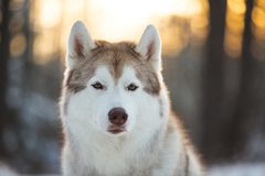 Close-up portrait of free, prideful and beautiful siberian Husky dog sitting on the snow in winter forest at sunset. Close-up portrait of free, prideful and stock photo