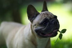 Close up portrait of a French Bulldog.  stock photo