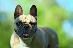 Close up portrait of a French Bulldog.  royalty free stock photo