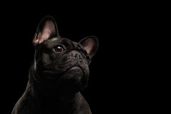 Close-up Portrait of French Bulldog Dog Curiously Looking up Isolated Royalty Free Stock Images