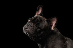 Close-up Portrait of French Bulldog Dog Curiously Looking up Isolated Stock Image