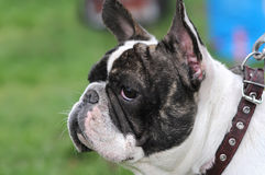 Close-up portrait of french bulldog Royalty Free Stock Images