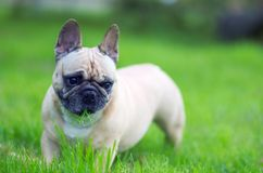 Close up portrait of a French Bulldog Stock Photography
