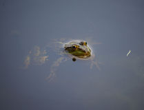 Close-up portrait of a frog  in bog Stock Photo