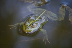 Close-up portrait of a frog and insects in bog Stock Photography