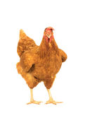 Close up portrait full body of brown female eggs hen standing sh Stock Images