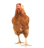 Close up portrait full body of brown female eggs hen standing sh Royalty Free Stock Photography