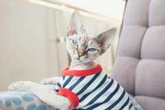 Close-up portrait of a funny Devon Rex cat with blue eyes,. Dressed in hipster style striped clothes and sitting on the arm chair, looking directly at camera Stock Photography