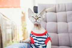 Close-up portrait of a funny Devon Rex cat with blue eyes,. Dressed in hipster style striped clothes and sitting on the arm chair on the balcony, smelling warm Royalty Free Stock Photo